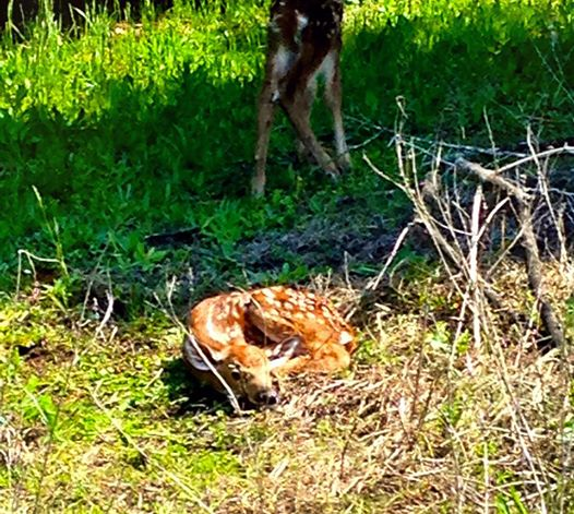 Newborn Fawns at Hensler's