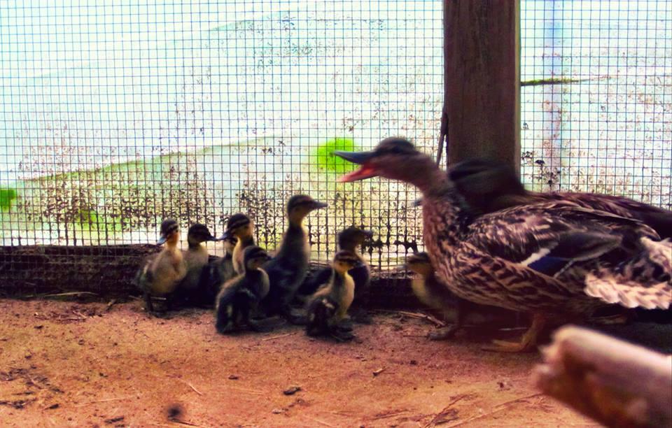 Mallards chicks are growing