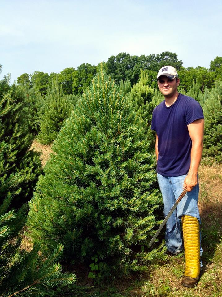 Shearing the Scotch Pine