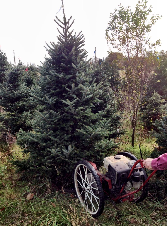 Real Christmas Trees Plymouth