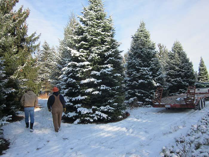 Hensler Nursery Statehouse Christmas Tree