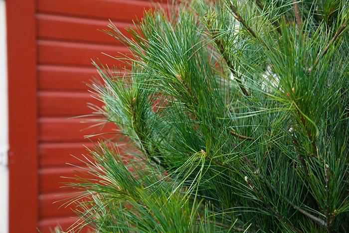 Christmas Tree Varieties | Hensler Nursery, Inc.