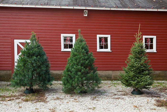 Christmas Trees at Hensler's