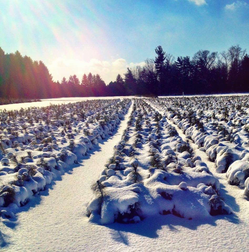 White Pine transplants covered in snow