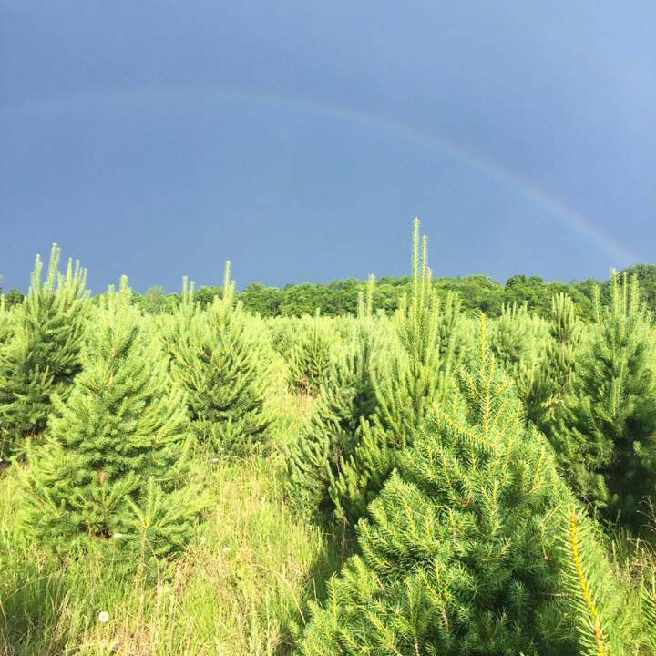 Rainbow over Scotch pine field