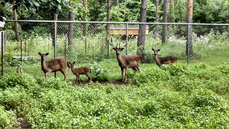 Hensler Deer Family