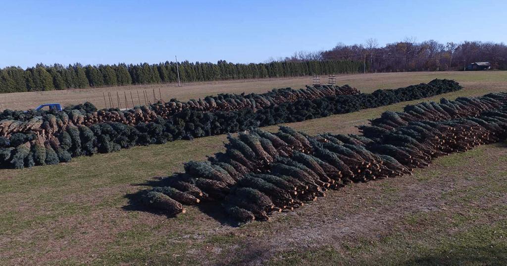 Wholesale Christmas Trees   Hensler Nursery, Inc.