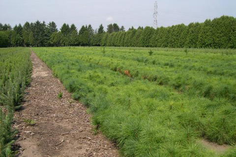 Hensler Nursery tree seedlings