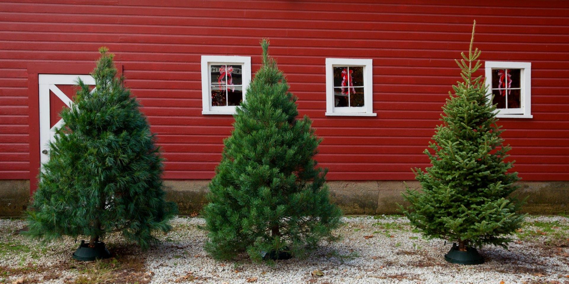 Fresh-cut Christmas Trees at Hensler Nursery